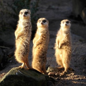 three_meerkatsSmall